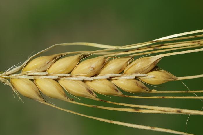 Куплю пшеницу с элеватора казахстан пассат транспортер т4